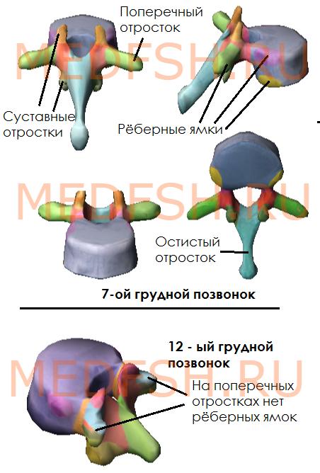Строение седьмого грудного позвонка (суставной, поперечный, остистый отростки, рёберные ямки)