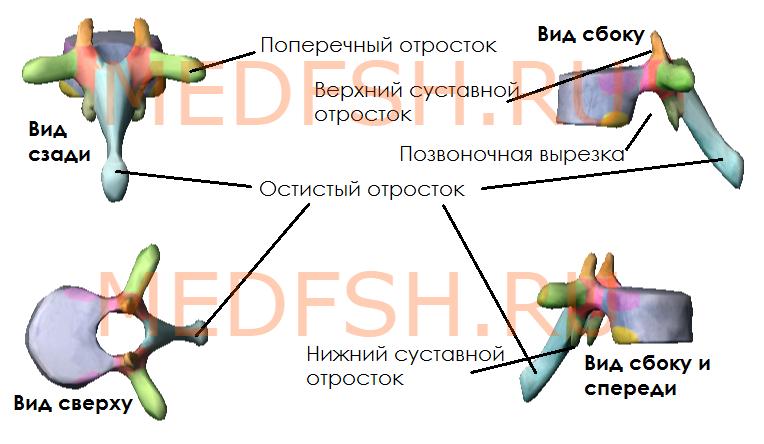 Представлены элементы, свойственные всем позвонкам: поперечный, остистый, верхний и нижний суставные отростки, позвоночная вырезка