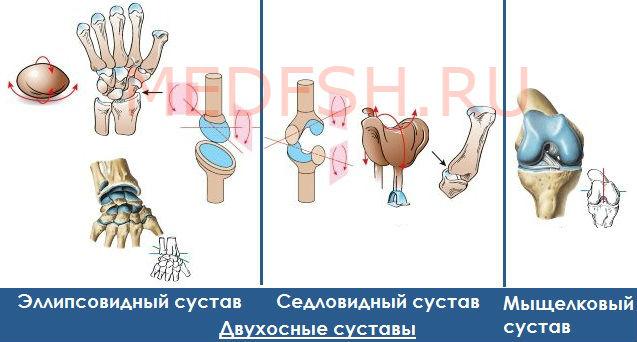 Классификация суставов: двухосные суставы