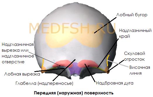 Лобная кость, передняя (наружная) поверхность