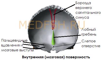 Лобная кость, внутренняя (мозговая) поверхность
