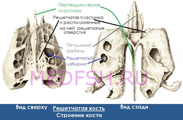 Строение решетчатой кости, вид сверху и сзади