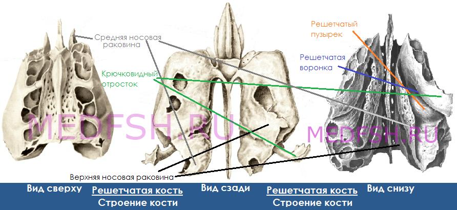 Строение решетчатой кости, вид сверху, сзади и снизу