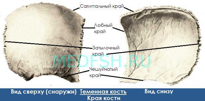 Теменная кость, вид сверху и снизу, края кости