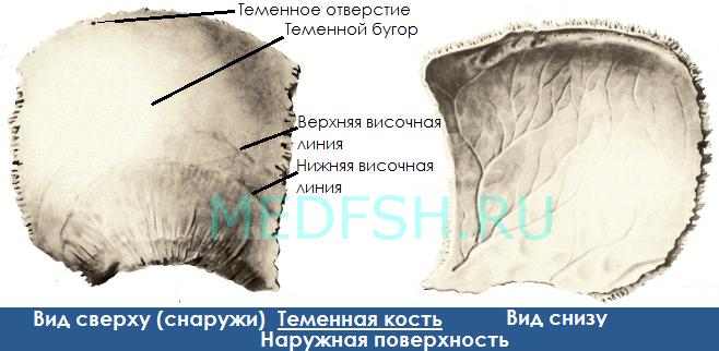Анатомия теменной кости, вид сверху и снизу, наружная поверхность