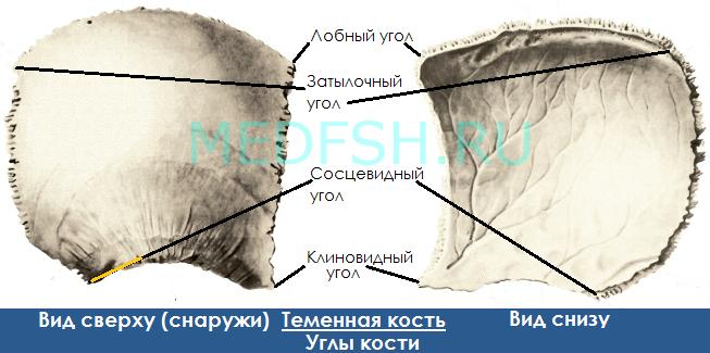 Теменная кость, вид сверху и снизу, углы кости