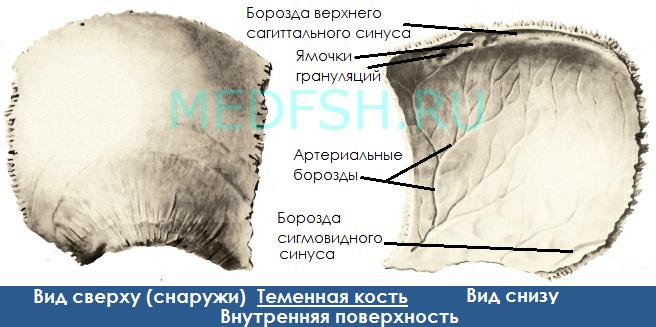 Теменная кость, вид сверху и снизу, внутренняя поверхность