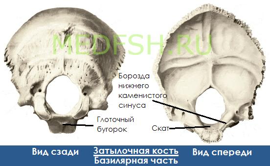 Затылочная кость, вид сзади  и спереди, базилярная часть