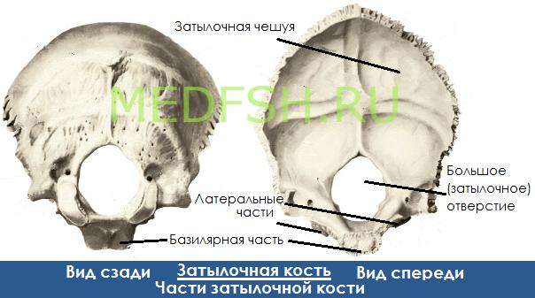 Затылочная кость, вид сзади и спереди, части затылочной кости