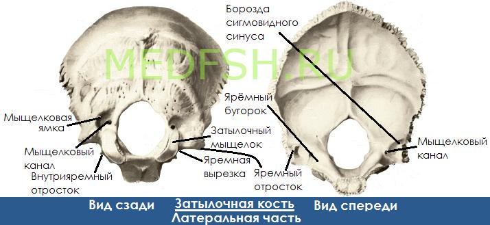 Затылочная кость, вид сзади  и спереди, латеральная часть