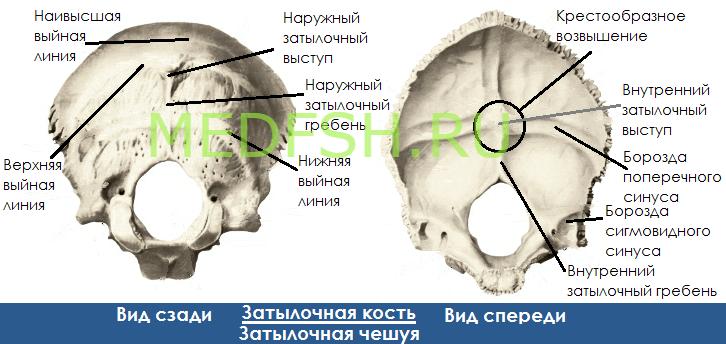 Затылочная кость, вид сзади  и спереди, затылочная чешуя