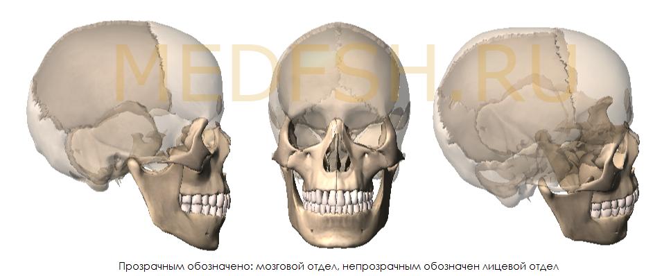 Строение черепа, отделы