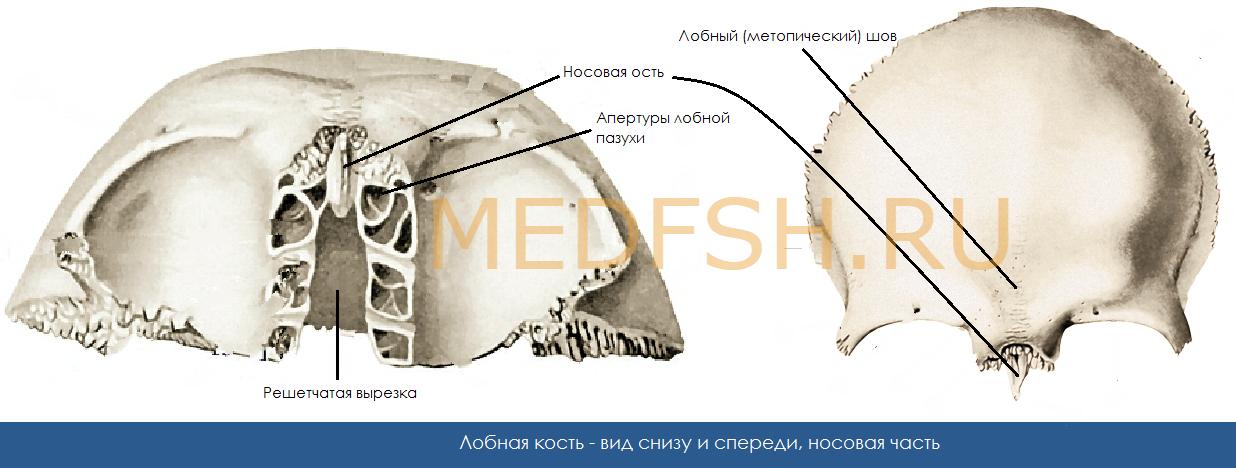 Носовая часть лобной кости, вид снизу и спереди