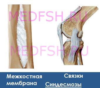 Синдесмозы. Фиброзные соединения костей.