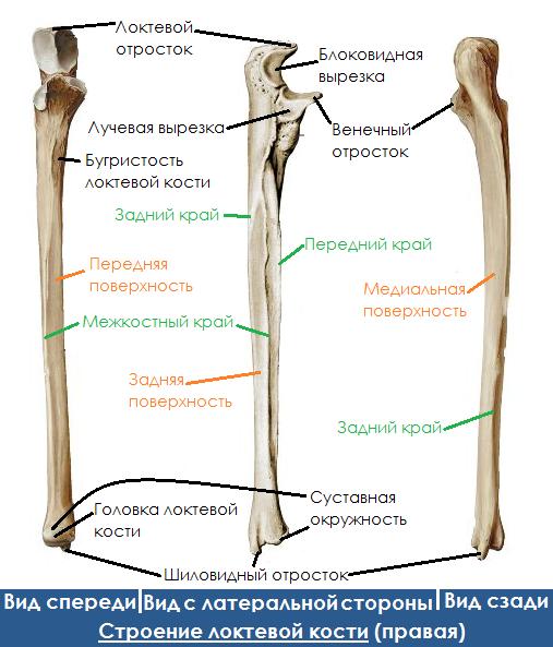 Анатомия локтевой кости