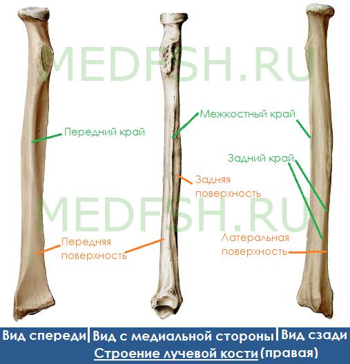 Анатомия лучевой кости: края, поверхности