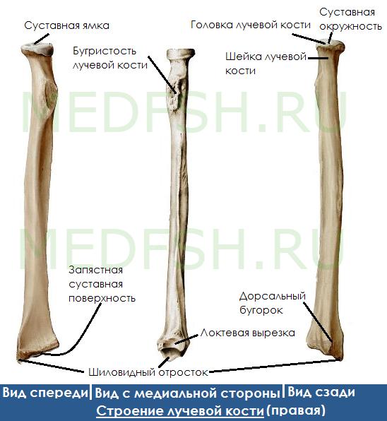 Анатомия лучевой кости: костные образования