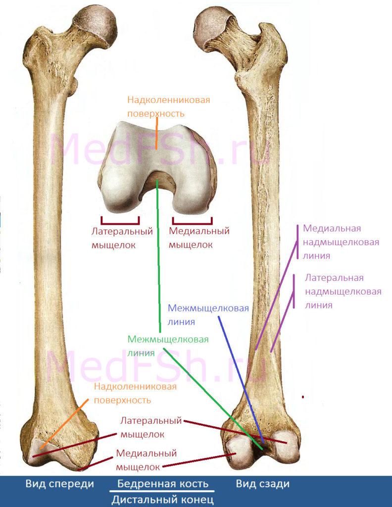 Бедренная кость, дистальный конец
