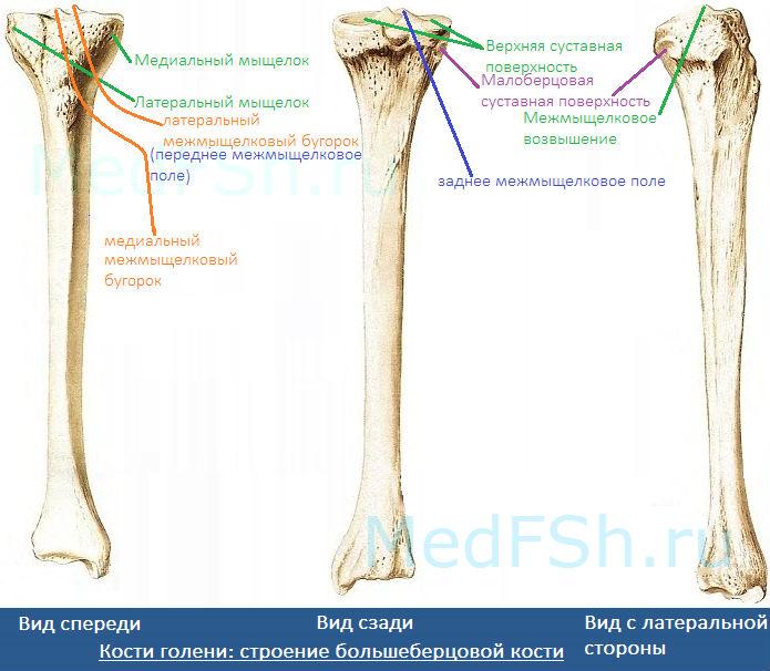 Кости голени: строение большеберцовой кости (проксимальный эпифиз)