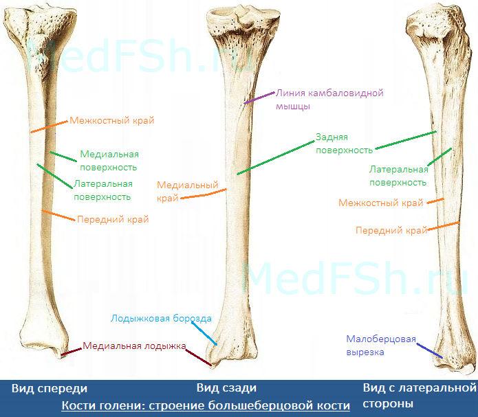 Кости голени: строение большеберцовой кости