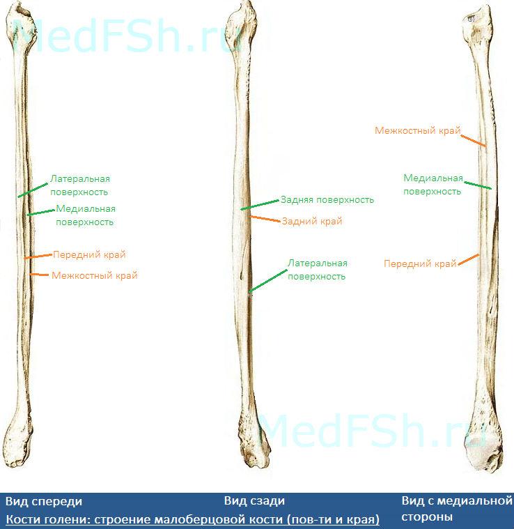 Кости голени: строение малоберцовой кости (поверхности и края)