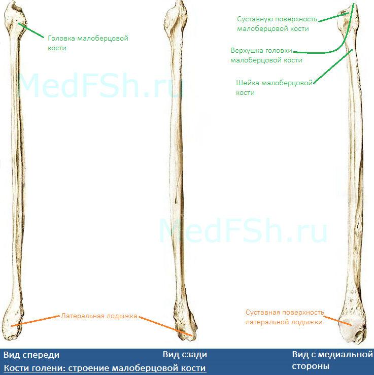 Строение малоберцовой кости