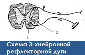 Нервная система: схема трёхнейронной рефлекторной дуги