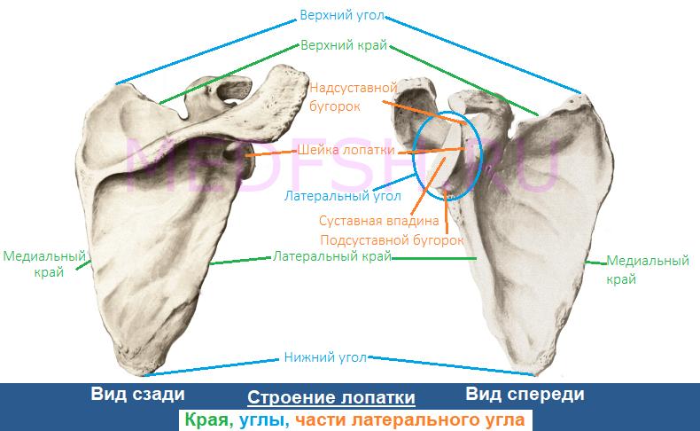 Анатомия (строение) лопатки, края, углы, части латерального угла