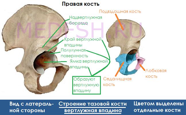 Строение тазовой кости, вертлужная впадина