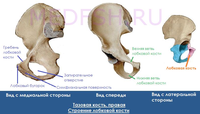 Тазовая кость, строение лобковой кости