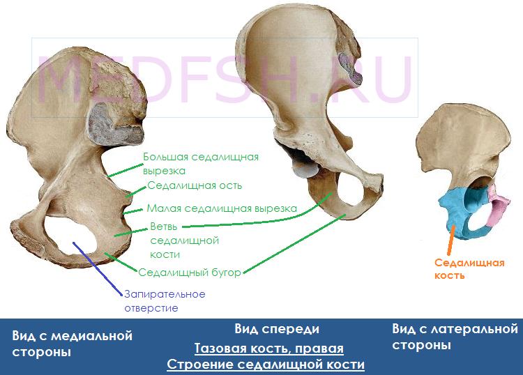 Тазовая кость, строение седалищной кости
