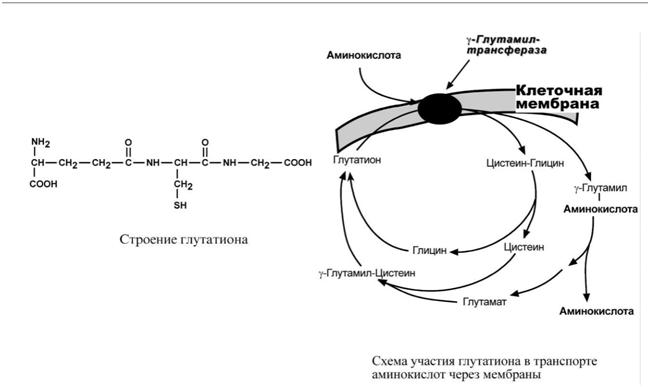 Строение глутатиона и схема её участия в транспорте аминокислот через мембраны