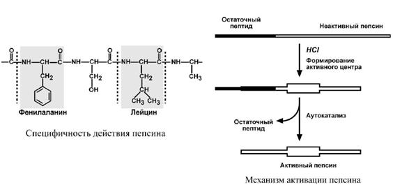 Специфичность действия и механизм активации пепсина