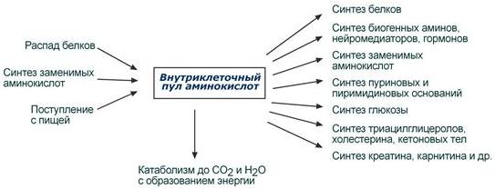 Внутриклеточный пул аминокислот