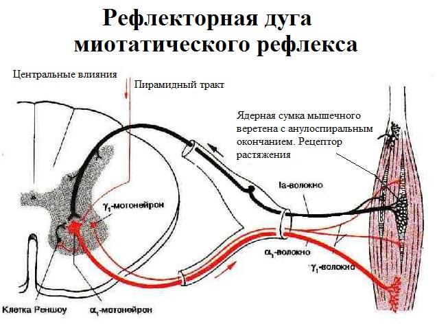 Рефлекторная дуга миотатического рефлекса