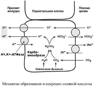 Механизм образования и секреции соляной кислоты