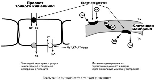 Всасывание аминокислот в тонком кишечнике