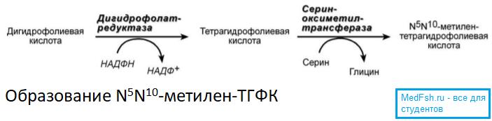 Образование метилентетрагидрофолиевой кислоты