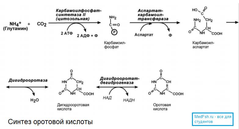 Синтез оротовой кислоты