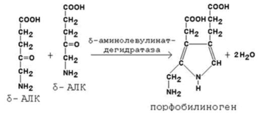 Синтез порфобилиногена