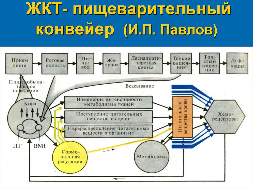 ЖКТ-пищеварительный конвейер