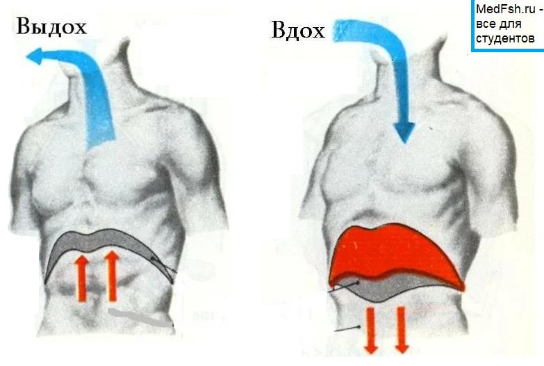 Положение диафрагмы при вдохе и выдохе