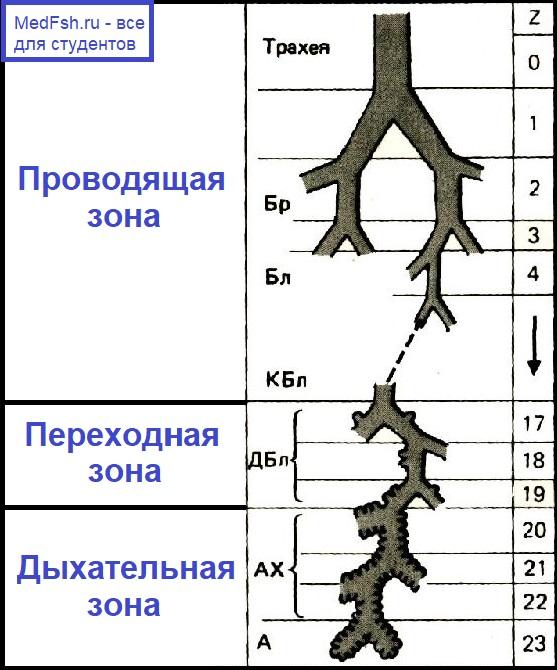 Сегментация бронхов