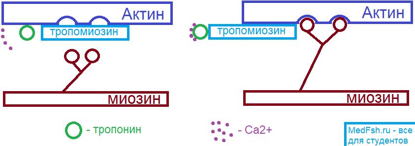 Механизм сокращения миокарда