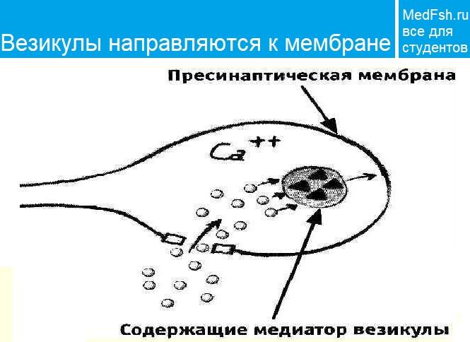 Пузырьки с медиатором сливаются с мембраной. Везикулы направляются к мембране