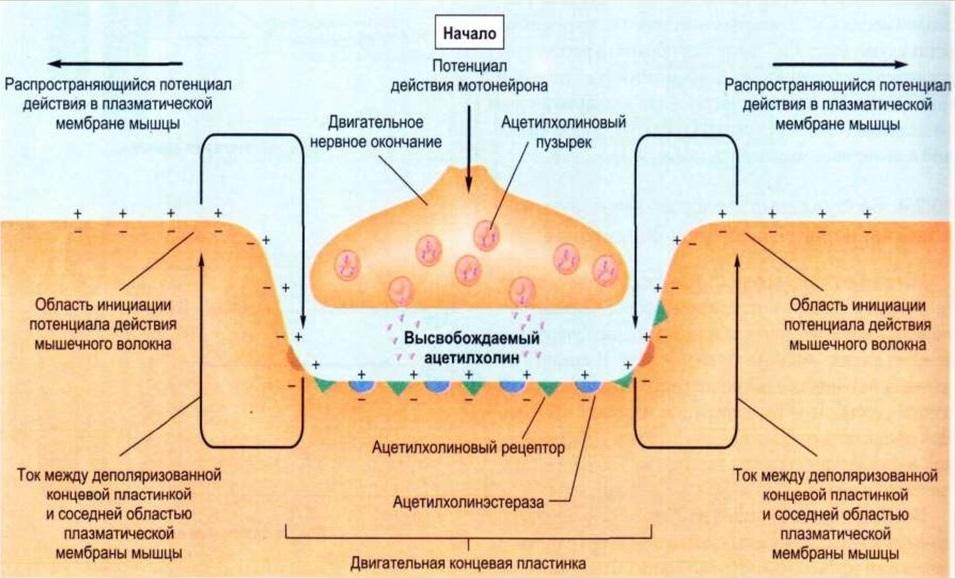 Работа нервно-мышечного синапса
