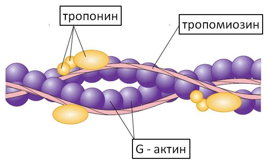 Сократительные и регуляторные белки