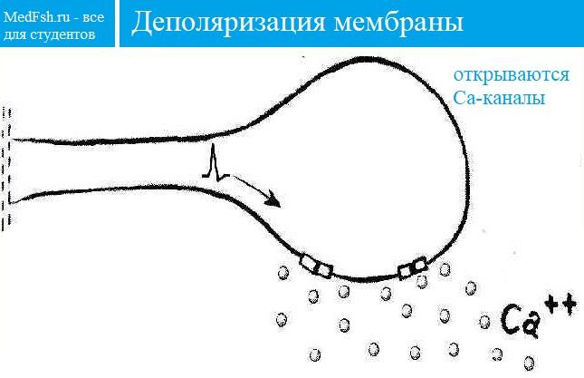 Деполяризация мембраны