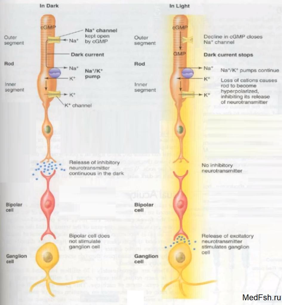 Фотохимические процессы в сетчатке
