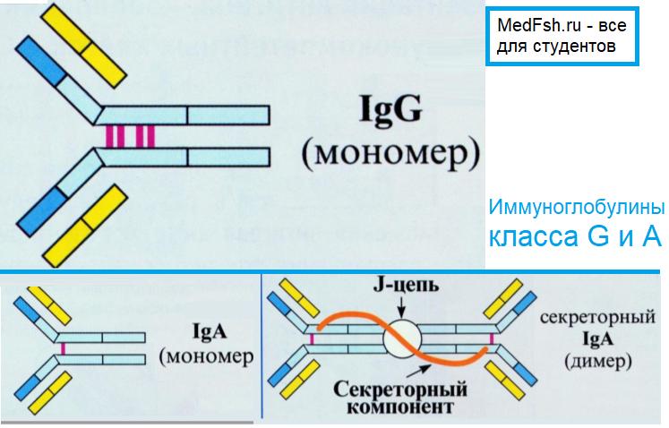 Иммуноглобулины класса G и A